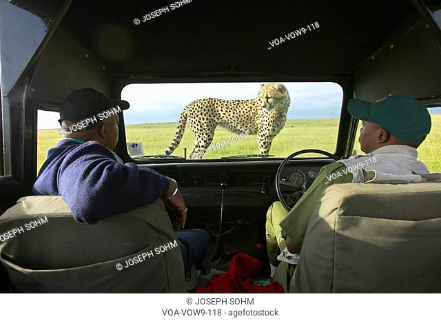 Cheetah jumping onto hood of Landrover Vehicle as tourists watch in Masai Mara near Little Governor's camp in Kenya, Africa