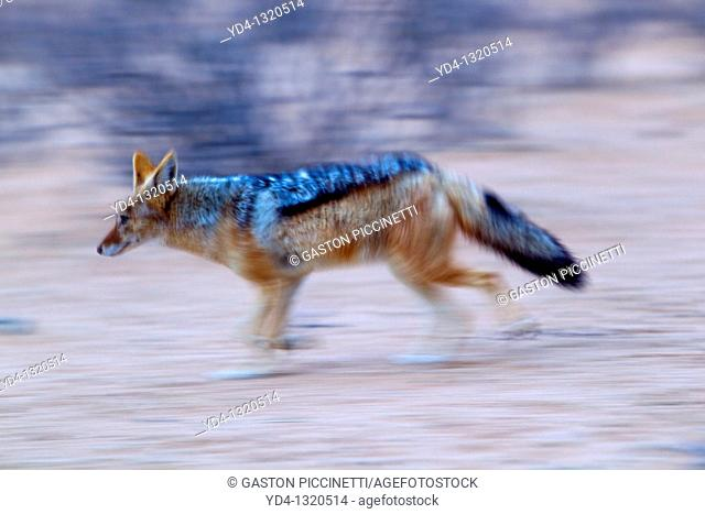 Black-backed Jackal Canis mesomelas, Kgalagadi Transfrontier Park, Kalahari desert, South Africa