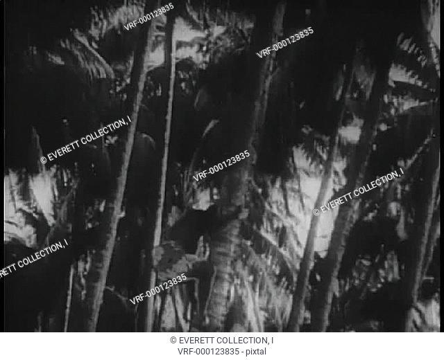 Polynesian men climbing down palm trees