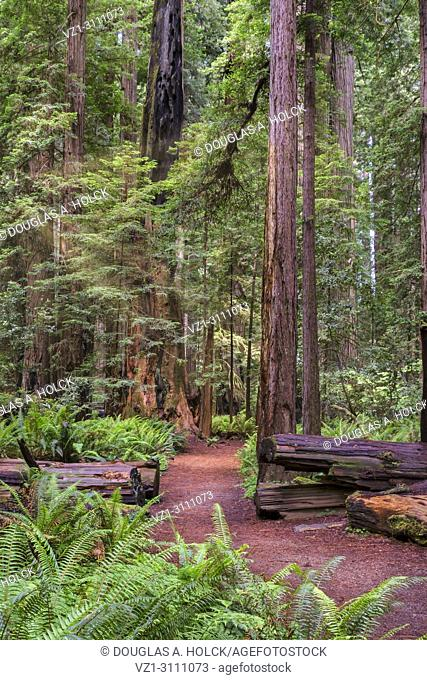 The sun appears for a brief moment between storms along a path in Stout Memorial Grove in Jedidiah Smith Redwoods State Park, CA, USA