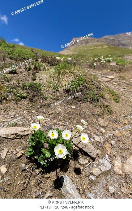 Alpine crowfoot / Alpine buttercup (Ranunculus alpestris) in flower on mountain slope, Hohe Tauern National Park, Austrian Alps, Carinthia, Austria