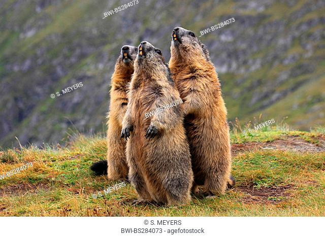 alpine marmot (Marmota marmota), three animals standing together errected whistling on a patch of grass at a mountain slope, Austria, Hohe Tauern National Park