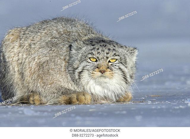 Asie, Mongolie, Est de la Mongolie, Steppe, Chat de Pallas Otocolobus manul), au repos, tapi / Asia, Mongolia, East Mongolia, Steppe area