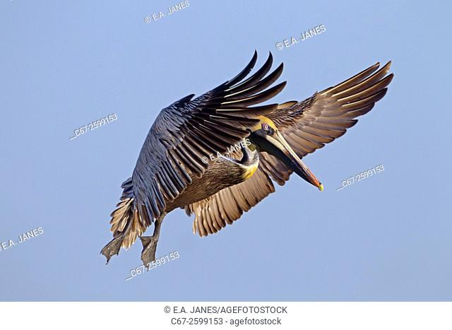 Brown Pelican Pelecanus occidentalis in flight after catching fish Florida Gulf coast USA