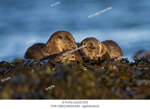 European Otter Lutra lutra adult female with cubs, resting on seaweed, Isle of Mull, Inner Hebrides, Scotland, december