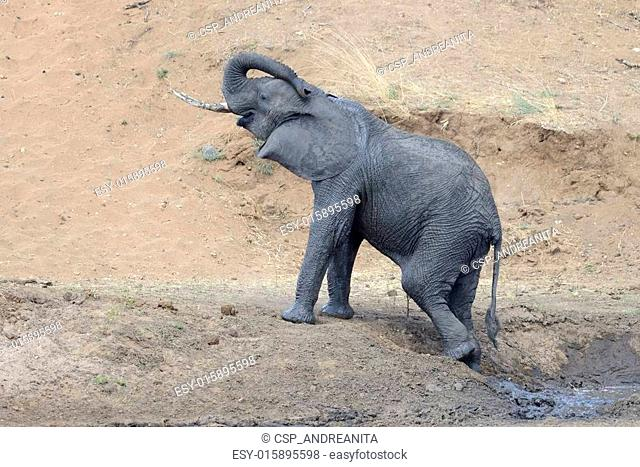 Young elephant coming out of mud pool
