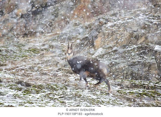 Chamois (Rupicapra rupicapra) male on mountain slope during snowfall in winter in the European Alps