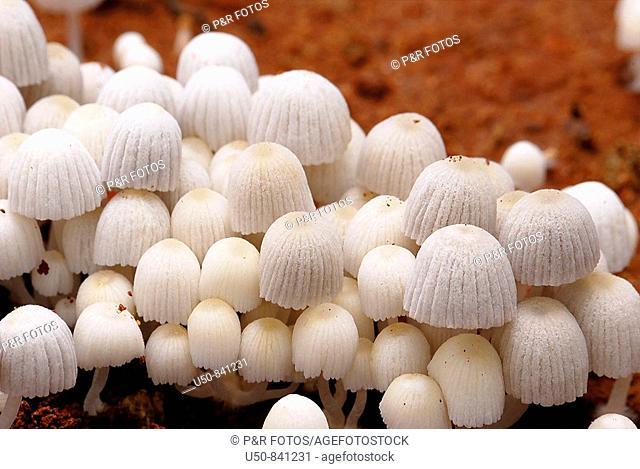 Wild Mushroom, Coprinus sp , Rio Branco, Acre, Brazil