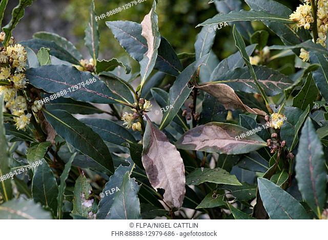 Overwintering cold or wind necrotic damage to sweet bay, Laurus nobilis, leaves, Berkshire, April