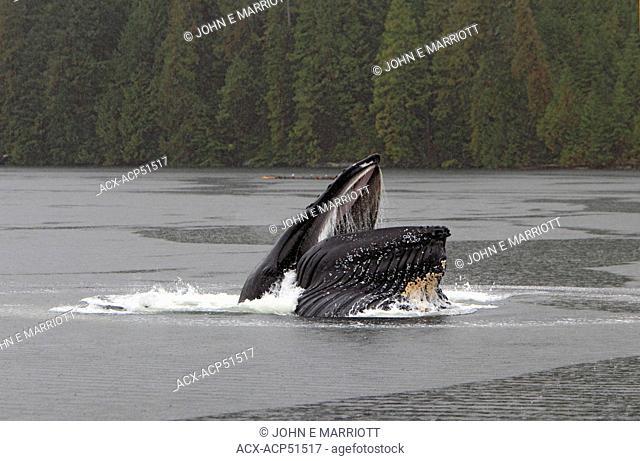 Humpback whale Megaptera novaeangliae bubblenet feeding on the BC Coast