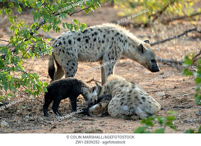 Family of Spotted Hyena (Crocuta crocuta) aka Laughing Hyena with young cub, Kruger National Park, Transvaal, South Africa