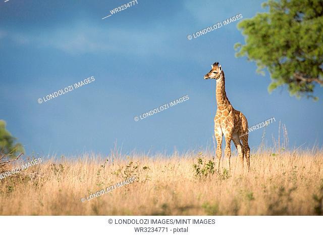 A young giraffe calf, Giraffa camelopardalis, stands in the sun in brown grass, looking away, dark blue sky in background