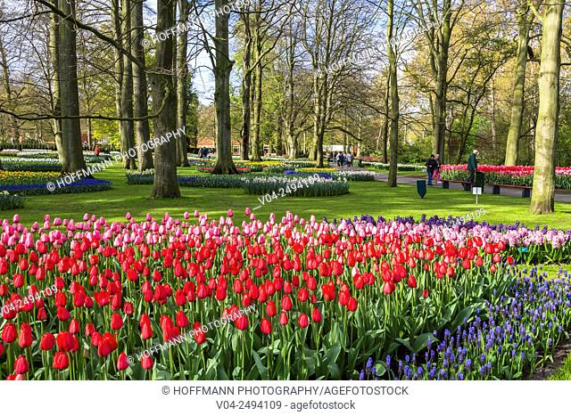 Beautiful blooming flowers in the famous Keukenhof, The Netherlands, Europe