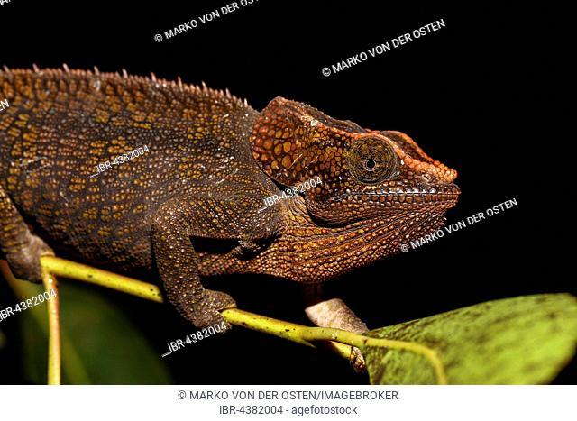 Female short-horned chameleon (Calumma brevicorne), Analamazoatra, Andasibe-Mantadia National Park, Alaotra-Mangoro, Madagascar