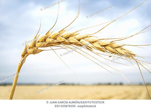 One grain ear at wheat field over white cloudy sky. Closeup