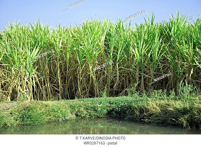 Sugarcane near to water pond , Salunkwadi , Taluka Ambejpgai , Beed , Maharashtra , India