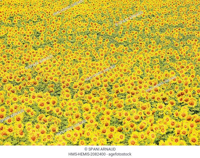 France, Tarn, Puylaurens, field of sunflowers in summer