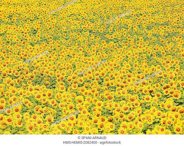 France, Tarn, Puylaurens, field of sunflowers in summer
