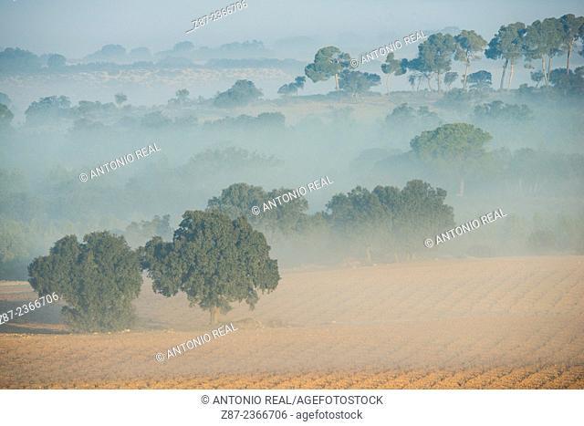 Holm oaks (Quercus ilex) in fog, Paraje de Botas, Almansa, Albacete province, Castilla-La Mancha, Spain España