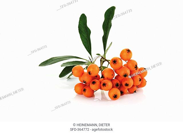 Firethorn Pyracantha coccinea