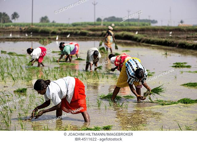 Rice cultivation, workers in the rice paddy, near Madurai, Tamil Nadu, India