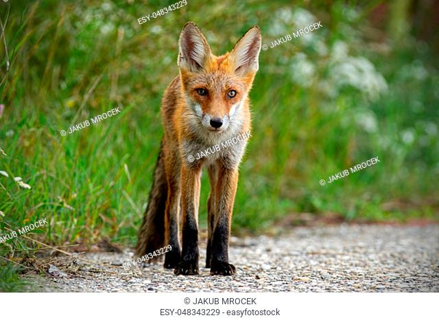Young red fox, vulpes vulpes, standing on gravel roadside in summer. Wild animal on road