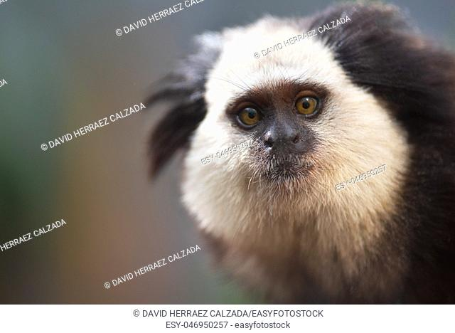 Portrait of a funny small monkey Black-tufted marmoset , Callithrix penicillata