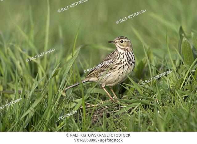 Meadow Pipit / Wiesenpieper ( Anthus pratensis ), typical and common bird in open habitats, sitting in grass, in breeding dress, wildlife, Europe