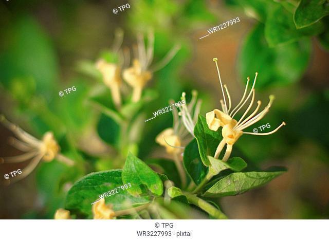 Honeysuckle Plantation