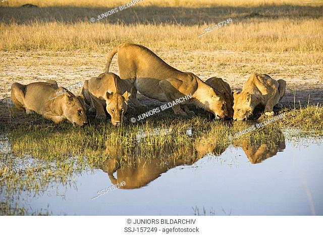 lionesses - drinking / Panthera leo