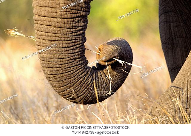 Trunk of African Elephant Loxodonta africana, Kruger National Park, South Africa