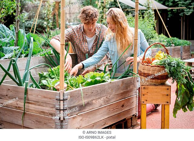 Young man and woman picking vegetables from wooden trough
