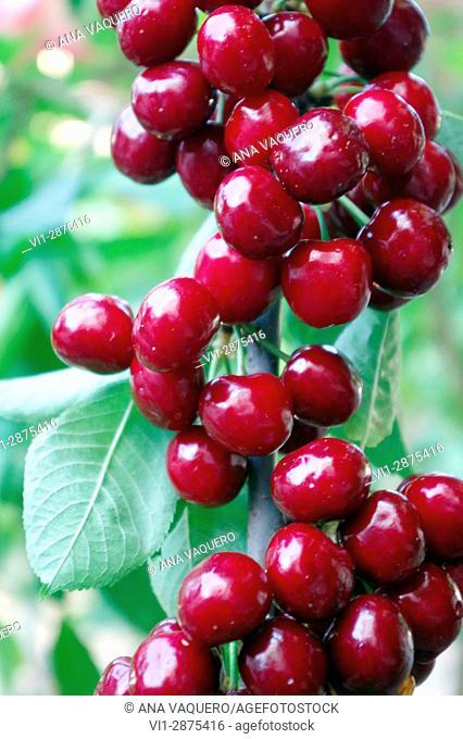 Cherries of the Jerte Valley, Cáceres, Estremadura