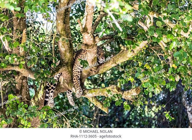 An adult jaguar (Panthera onca), sleeping in a tree on the Rio Tres Irmao, Mato Grosso, Brazil, South America