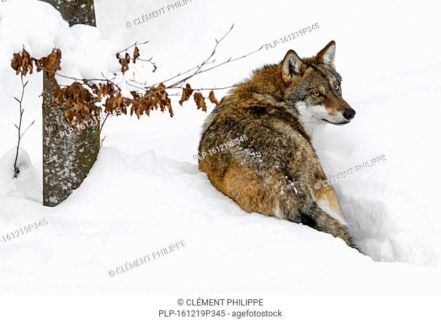 Solitary gray wolf / grey wolf (Canis lupus) walking in deep snow in winter and looking backwards