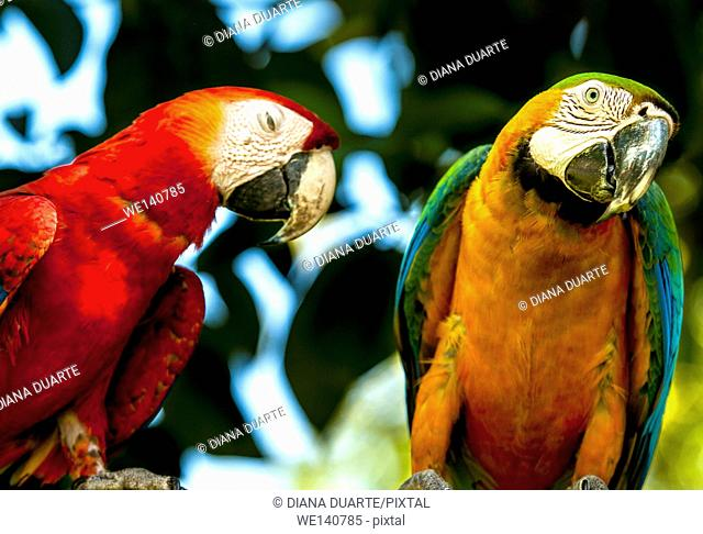 'Scarlet macaw' (Ara macao) is a large, red, yellow and blue South American parrot, a member of a large group of Neotropical parrots called macawAs strong...