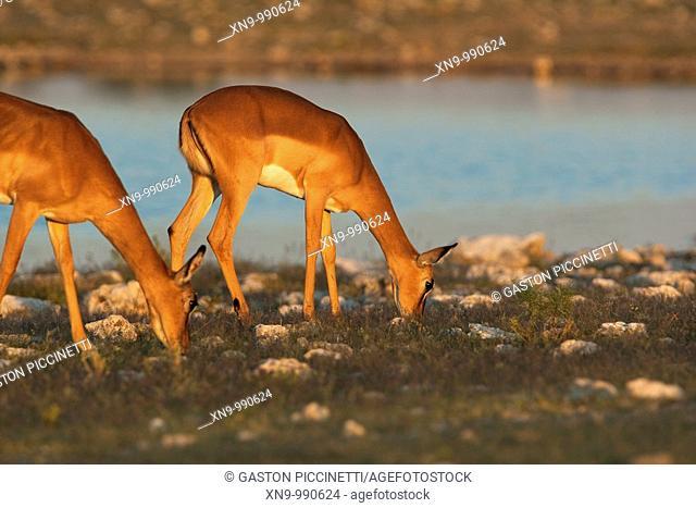 Black-faced impalas Aepycerus melampus,eating, Etosha National Park, Namibia