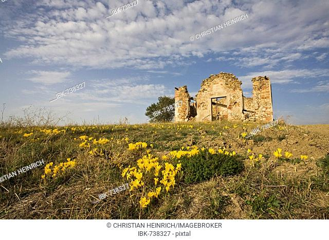 Autumn Crocuses (Colchicum autumnale) growing in front of farm ruins in Tuscany, Italy, Europe