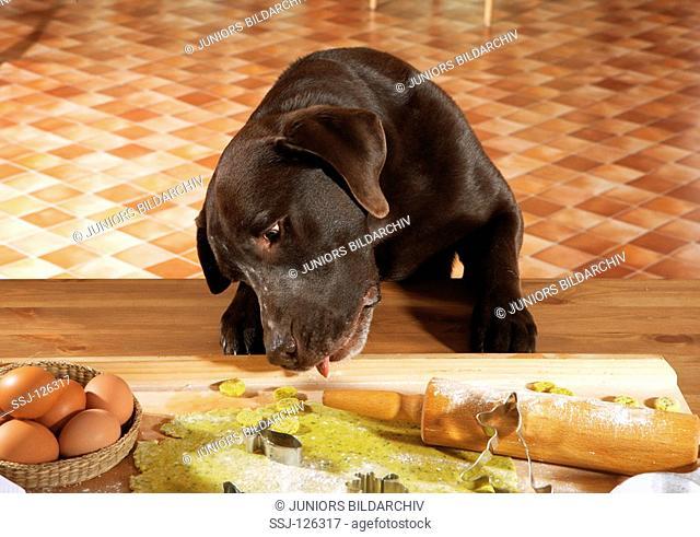 bad habit: Labrador Retriever - munching dough restrictions:Tierratgeber-Bücher / animal guidebooks