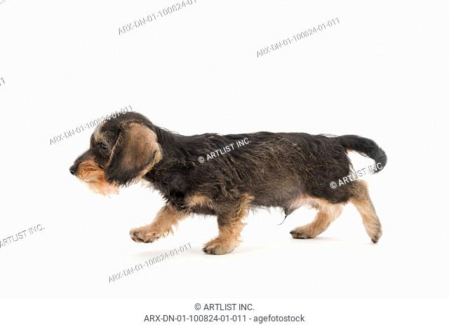 A walking puppy