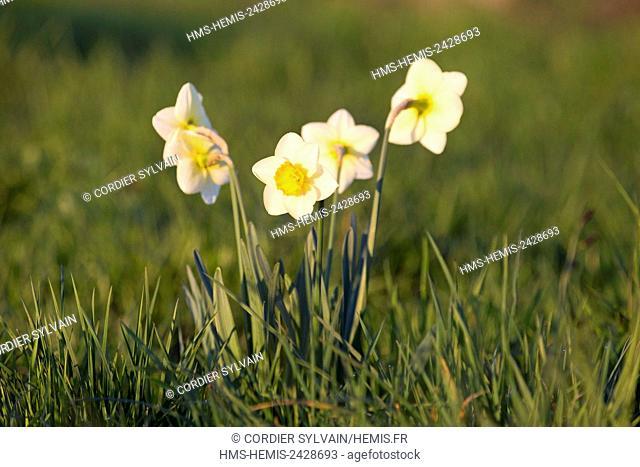 France, Bas Rhin, Obernai, Narcissus