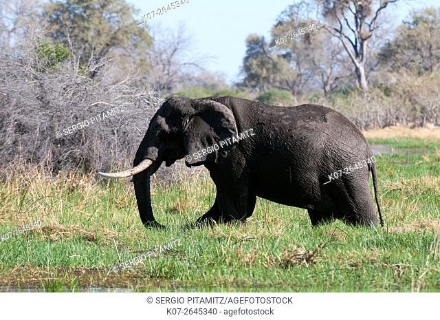 African elephant (Loxodonta africana), Okavango delta, Botswana