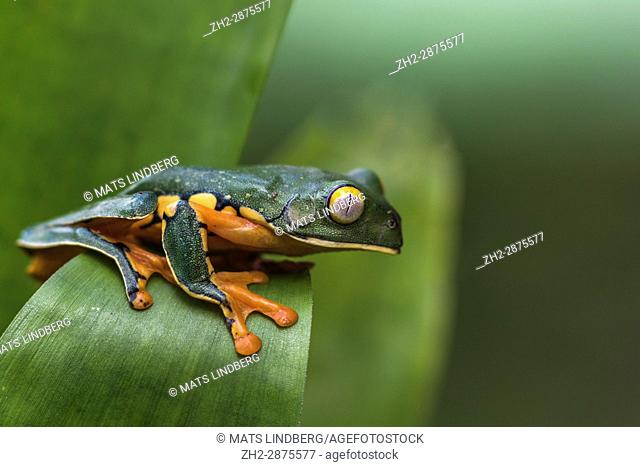 Splendid leaf frog, Cruziohyla calcarifer, climbing on a leaf, in rainforest, Laguna del Lagarto, Boca Tapada, San Carlos, Costa Rica