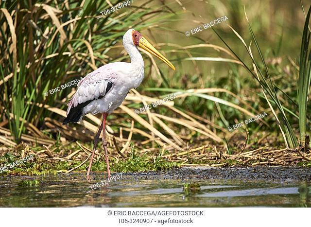 Yellow-billed stork (Mycteria ibis) in Albert lake. Murchisson Falls National Park, Uganda