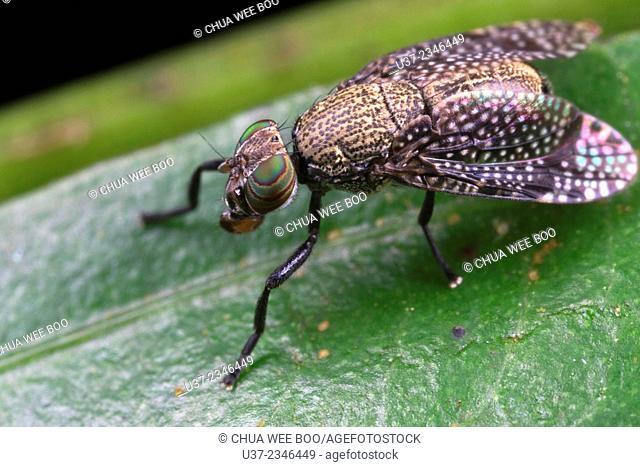 Fly. Image taken at Stutong Forest Reserve Park, Kuching, Sarawak, Malaysia