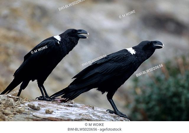 African white-necked raven Corvus albicollis, pair, South Africa, Giant`s Castle Game Reserve, Aug 04