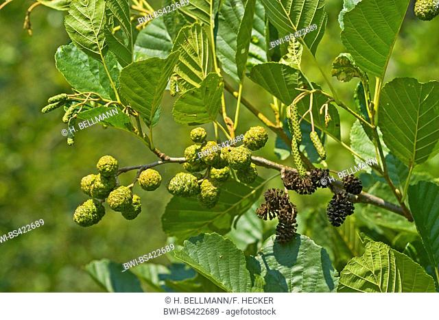 common alder, black alder, European alder (Alnus glutinosa), branch with immature and mature fruits, Germany