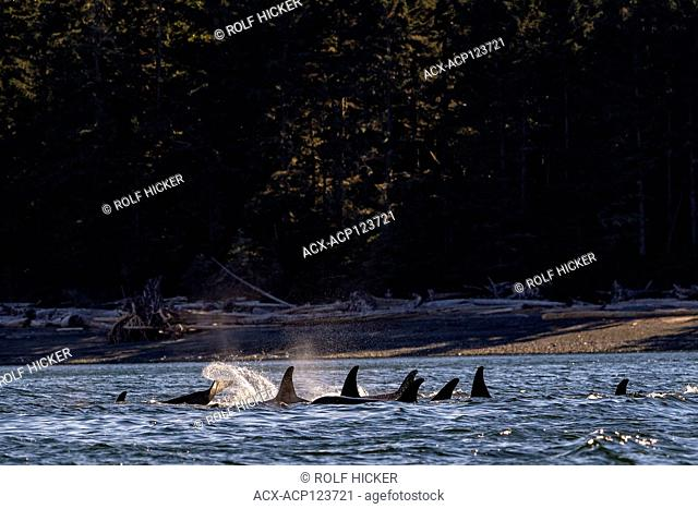 Northern resident killer whales (a30's, A42's) resting along the Lizard Point, Malcolm Island shoreline on a beautiful late afternoon, First Nations Territory