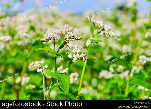 Buchweizen - buckwheat 09