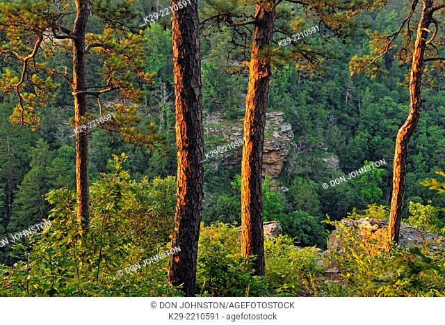 Pine trees at the edge of Cedar Creek Canyon, Petit Jean State Park, Arkansas, USA